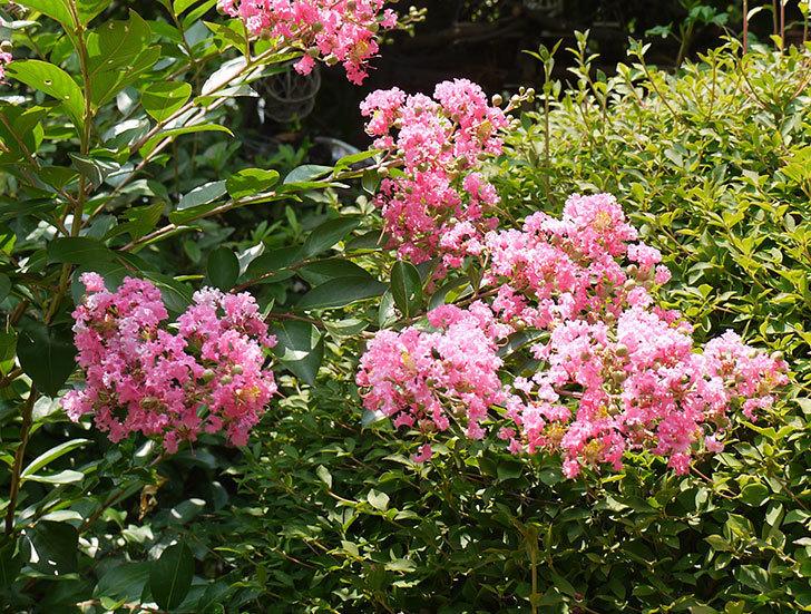 サルスベリの花が増えてきた。2016年-5.jpg