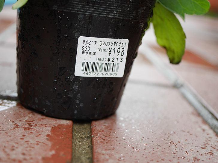 サルビア-ファリナセアの苗をホームズで2個買ってきた。2019年-4.jpg