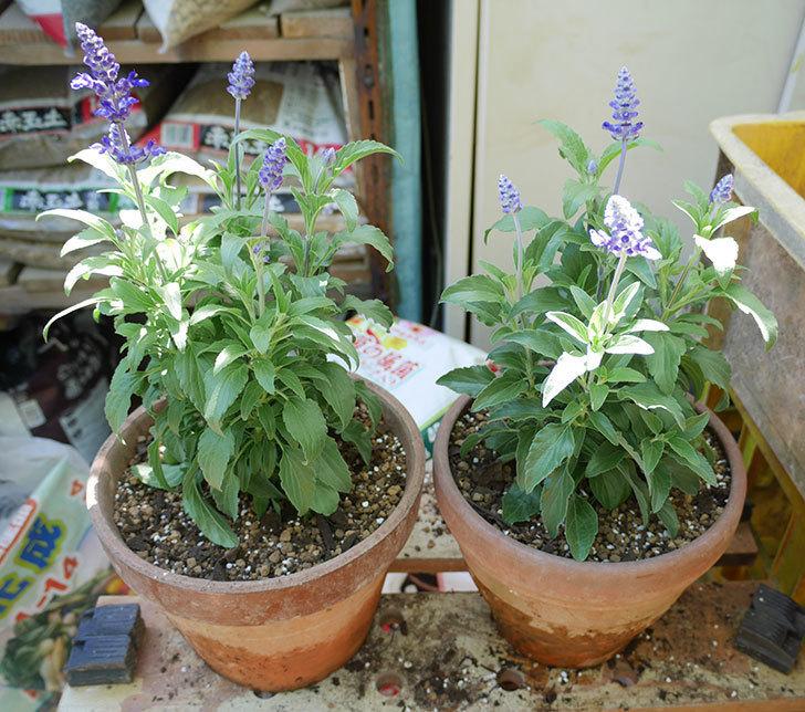 サルビア-ファリナセアの苗を鉢に植えた。2019年-1.jpg