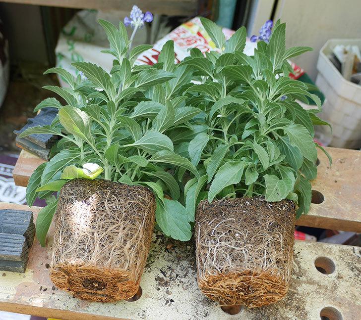 サルビア-ファリナセアの苗を鉢に植えた。2019年-2.jpg