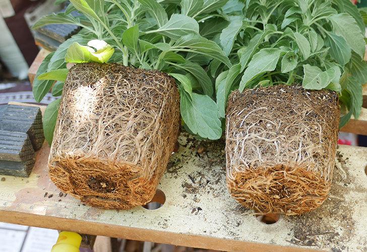 サルビア-ファリナセアの苗を鉢に植えた。2019年-3.jpg