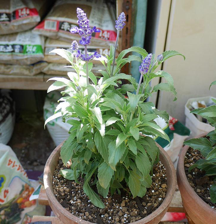 サルビア-ファリナセアの苗を鉢に植えた。2019年-5.jpg