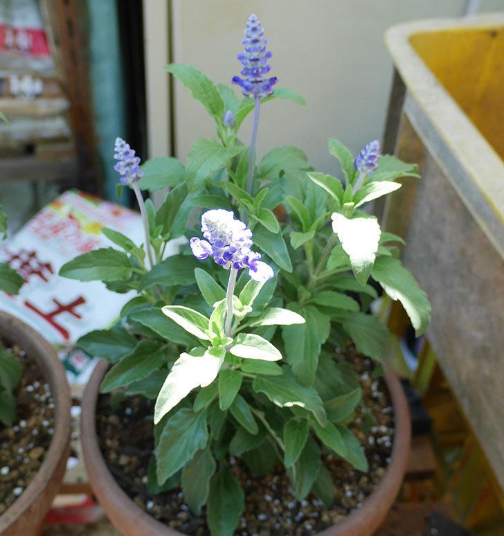 サルビア-ファリナセアの苗を鉢に植えた。2019年-6.jpg