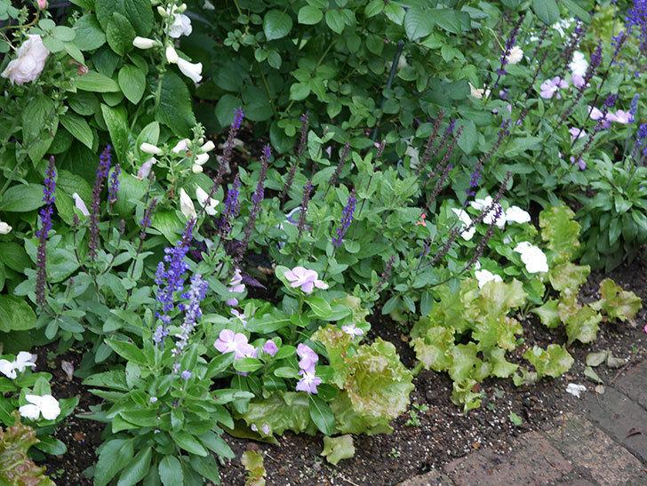 サルビア ネモローサ カラドンナの花がまた咲いた。2020年-001.jpg