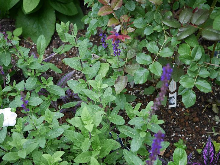 サルビア ネモローサ カラドンナの花がまた咲いた。2020年-003.jpg