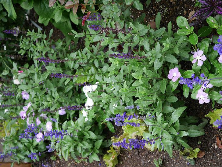 サルビア ネモローサ カラドンナの花がまた咲いた。2020年-004.jpg