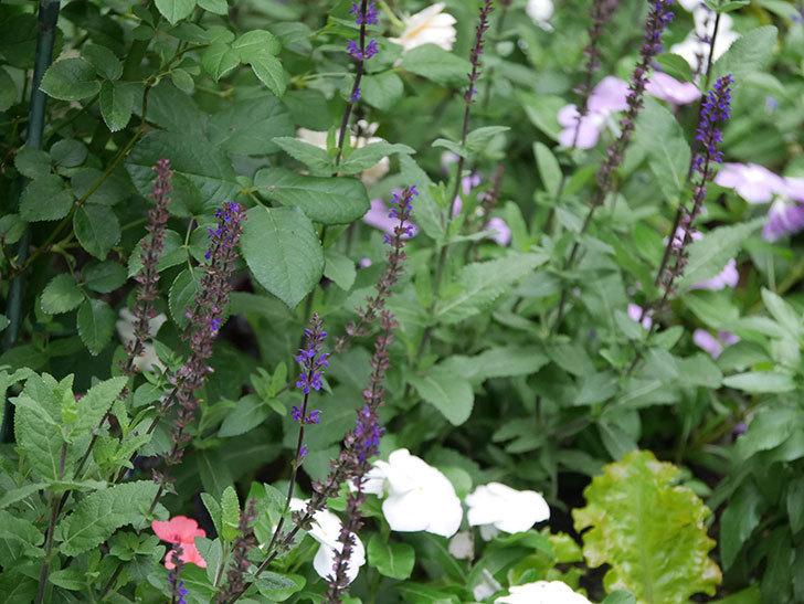 サルビア ネモローサ カラドンナの花がまた咲いた。2020年-009.jpg