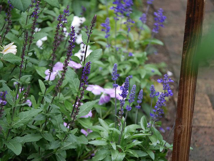 サルビア ネモローサ カラドンナの花がまた咲いた。2020年-010.jpg