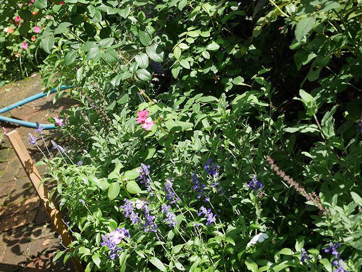 サルビア ファリナセアの花がたくさん咲いた。2020年-015.jpg