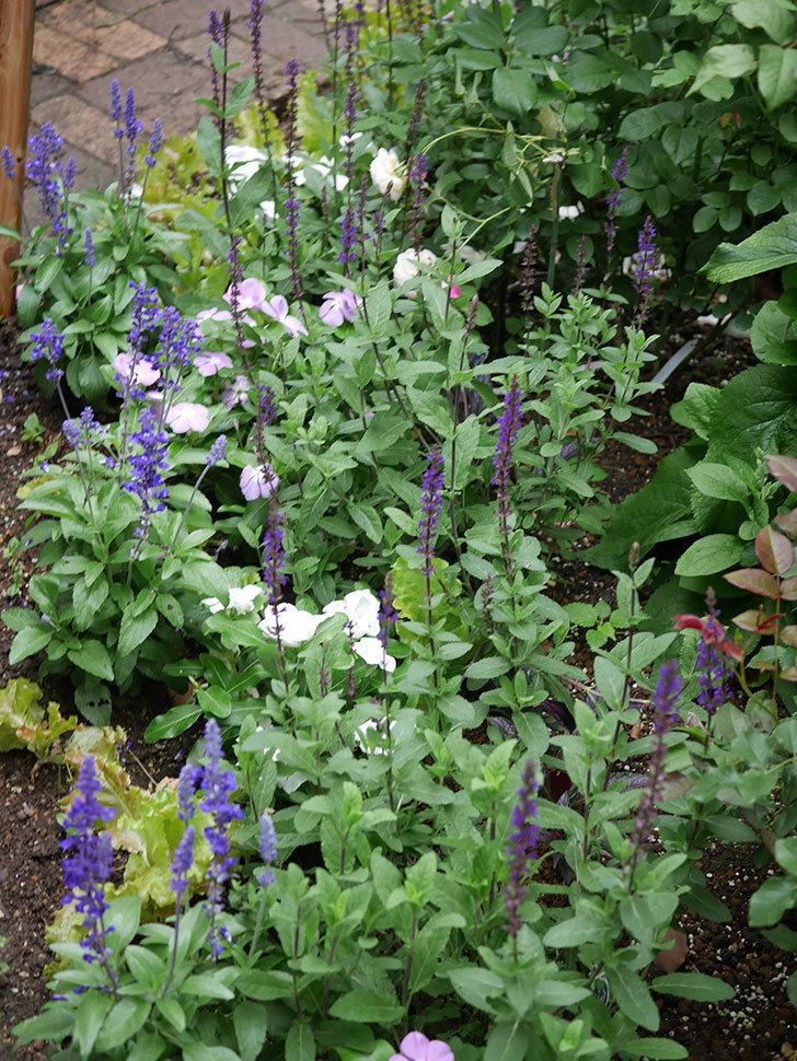 サルビア ファリナセアの花が増えてきた。2020年-007.jpg