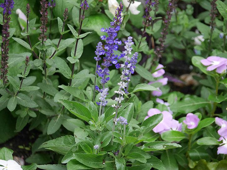 サルビア ファリナセアの花が増えてきた。2020年-008.jpg