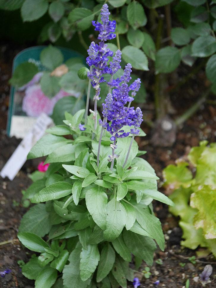 サルビア ファリナセアの花が増えてきた。2020年-010.jpg