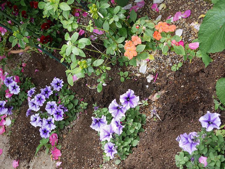 サルビア ファリナセアの苗をホームズで10個買ってきた。2021年-013.jpg