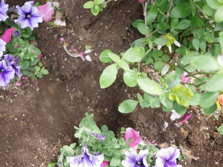 サルビア ファリナセアの苗をホームズで10個買ってきた。2021年-015.jpg
