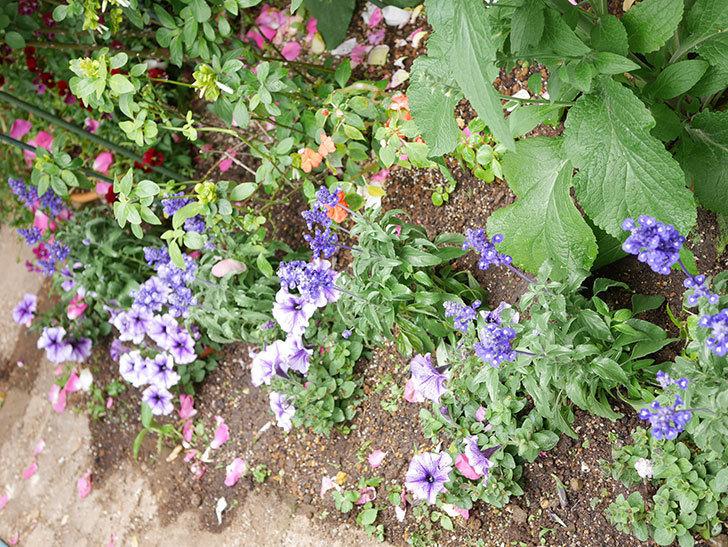 サルビア ファリナセアの苗をホームズで10個買ってきた。2021年-017.jpg