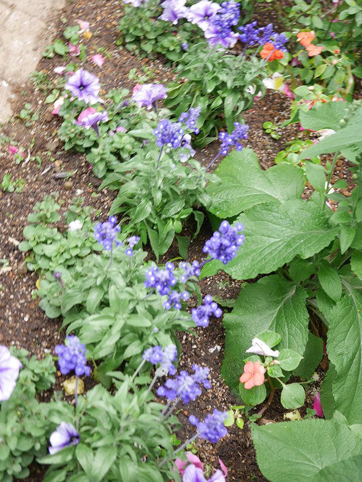 サルビア ファリナセアの苗をホームズで10個買ってきた。2021年-019.jpg