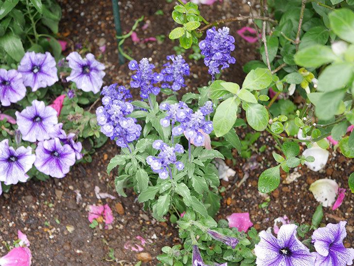 サルビア ファリナセアの苗をホームズで10個買ってきた。2021年-025.jpg