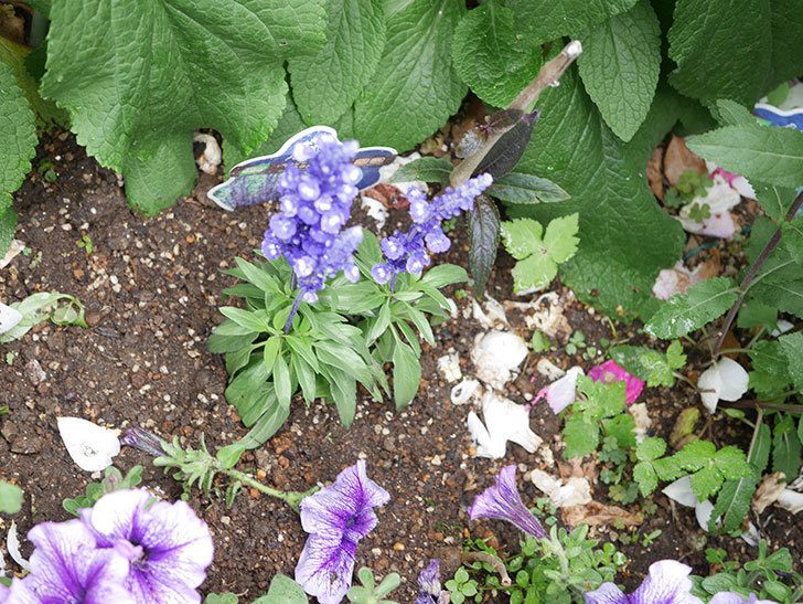 サルビア ファリナセアの苗をホームズで10個買ってきた。2021年-028.jpg
