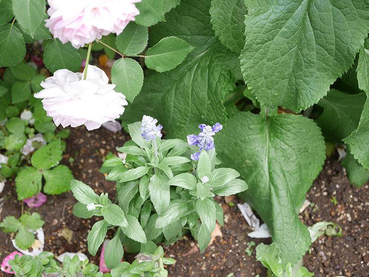 サルビア ファリナセアの苗をホームズで10個買ってきた。2021年-029.jpg