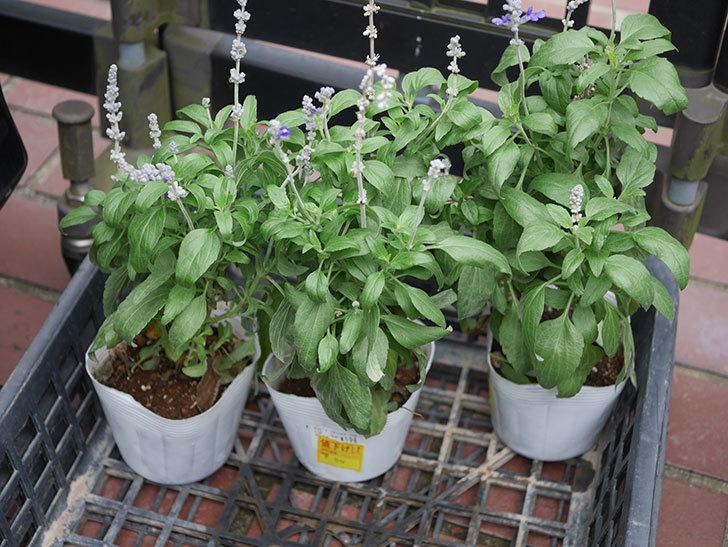 サルビア ファリナセアの苗をホームズで50円だったので3個買ってきた。2020年-001.jpg