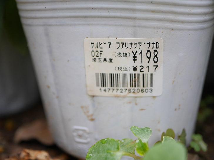 サルビア ファリナセアの苗をホームズで6個買ってきた。2020年-003.jpg