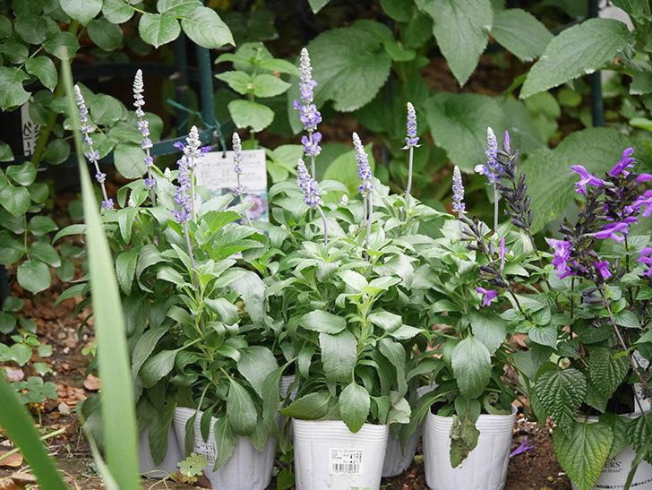 サルビア ファリナセアの苗をホームズで6個買ってきた。2020年-005.jpg