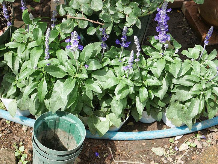 サルビア ファリナセアの苗を地植えした。2020年-002.jpg