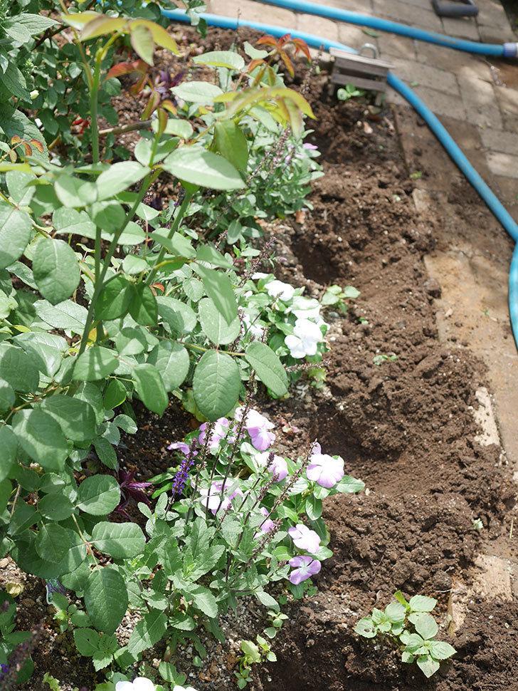 サルビア ファリナセアの苗を地植えした。2020年-012.jpg