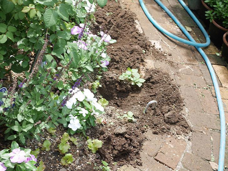 サルビア ファリナセアの苗を地植えした。2020年-015.jpg