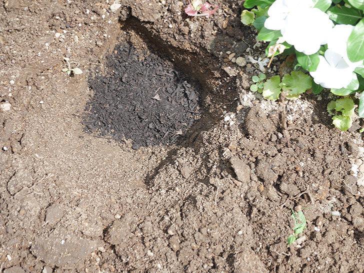 サルビア ファリナセアの苗を地植えした。2020年-017.jpg