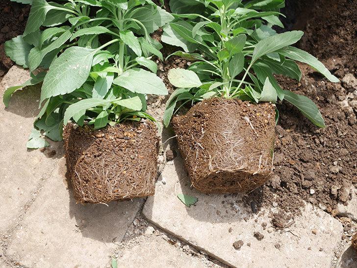 サルビア ファリナセアの苗を地植えした。2020年-022.jpg