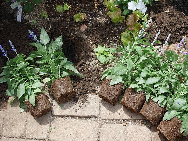 サルビア ファリナセアの苗を地植えした。2020年-024.jpg