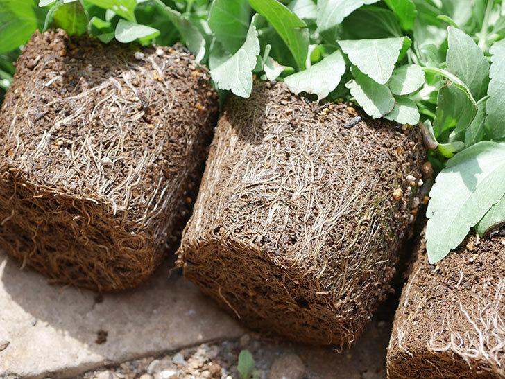 サルビア ファリナセアの苗を地植えした。2020年-026.jpg
