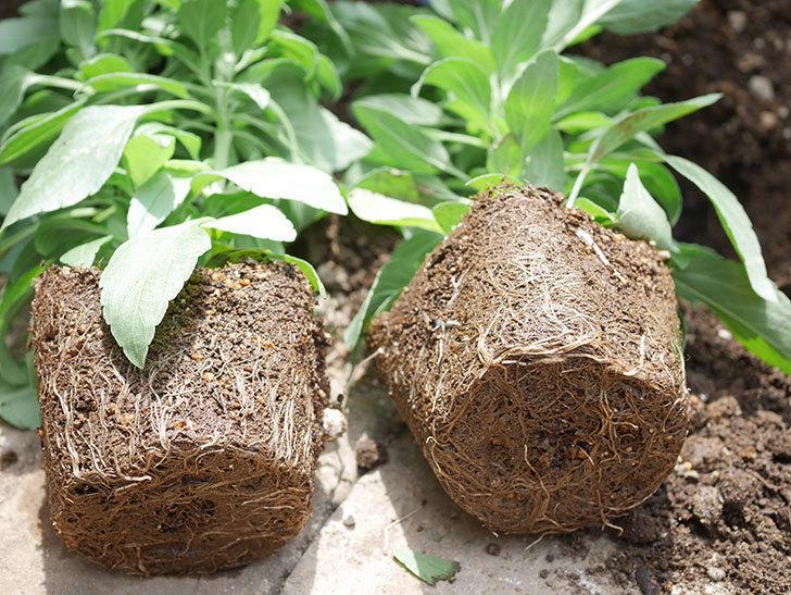 サルビア ファリナセアの苗を地植えした。2020年-027.jpg