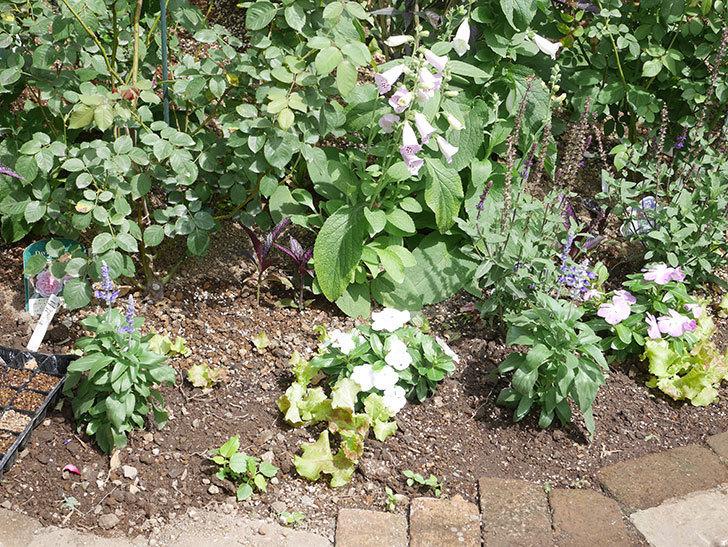 サルビア ファリナセアの苗を地植えした。2020年-028.jpg