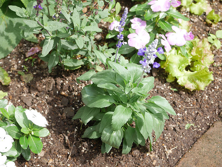 サルビア ファリナセアの苗を地植えした。2020年-033.jpg