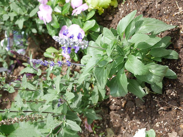 サルビア ファリナセアの苗を地植えした。2020年-035.jpg