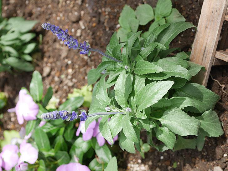 サルビア ファリナセアの苗を地植えした。2020年-036.jpg
