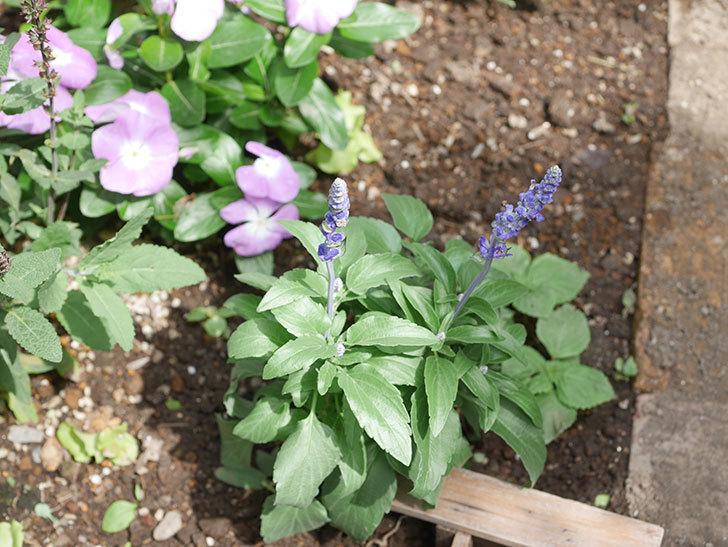 サルビア ファリナセアの苗を地植えした。2020年-037.jpg