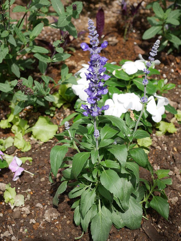 サルビア ファリナセアの苗を地植えした。2020年-038.jpg