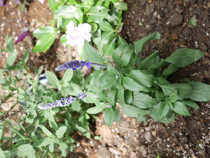 サルビア ファリナセアの苗を地植えした。2020年-041.jpg