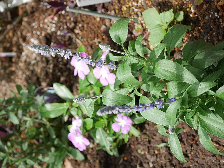 サルビア ファリナセアの苗を地植えした。2020年-045.jpg
