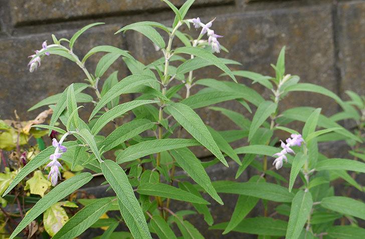 サルビア・レウカンサの花が咲き始めた1.jpg