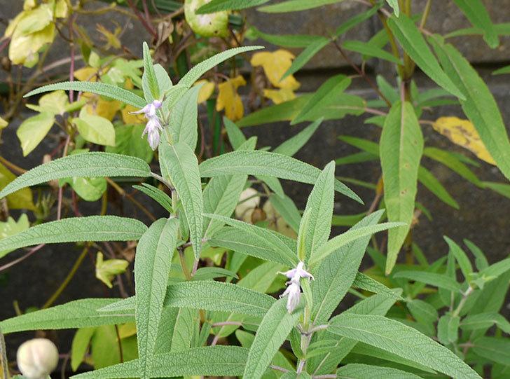 サルビア・レウカンサの花が咲き始めた3.jpg