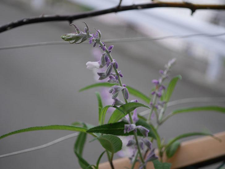 サルビア・レウカンサの花が少し咲いた。2020年-002.jpg