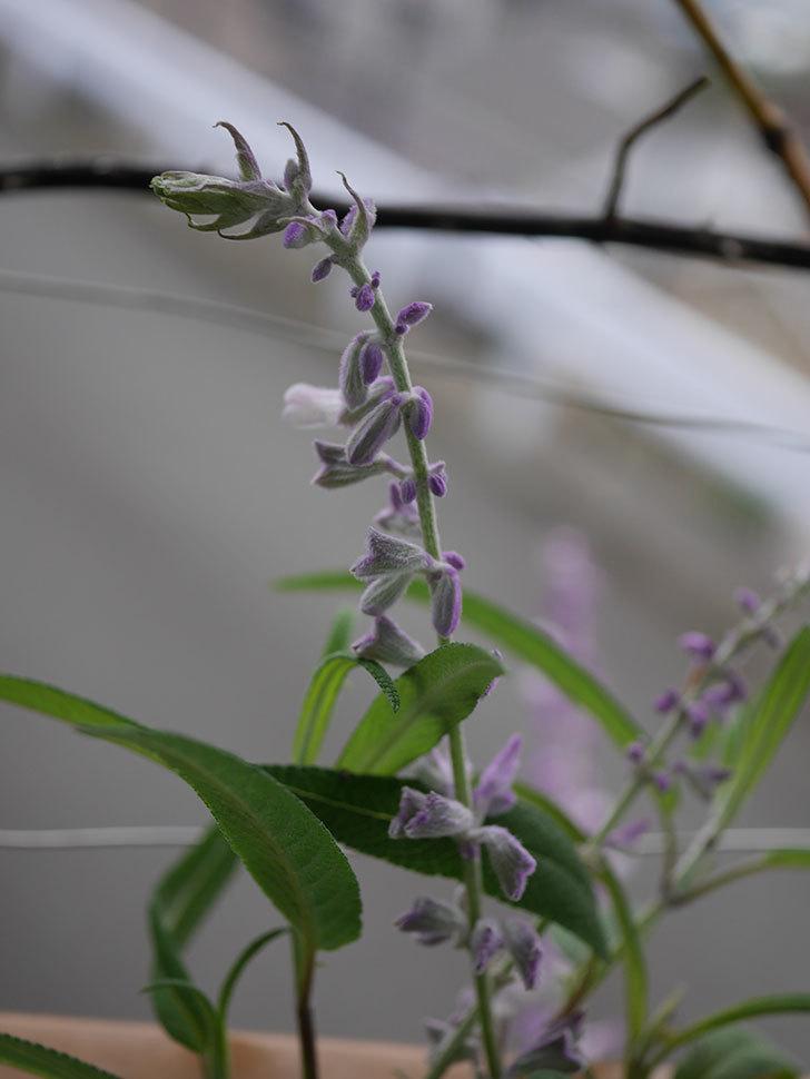 サルビア・レウカンサの花が少し咲いた。2020年-004.jpg