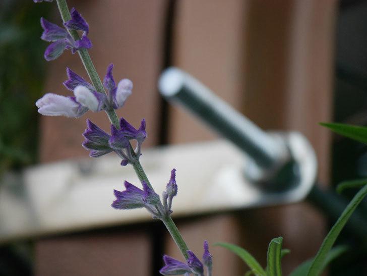 サルビア・レウカンサの花が少し咲いた。2020年-009.jpg