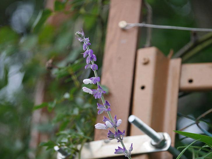 サルビア・レウカンサの花が少し咲いた。2020年-011.jpg