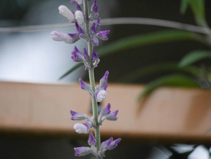 サルビア・レウカンサの花が少し咲いた。2020年-012.jpg