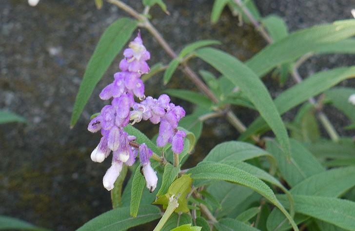 サルビア・レウカンサの花が本格的に咲いた1.jpg